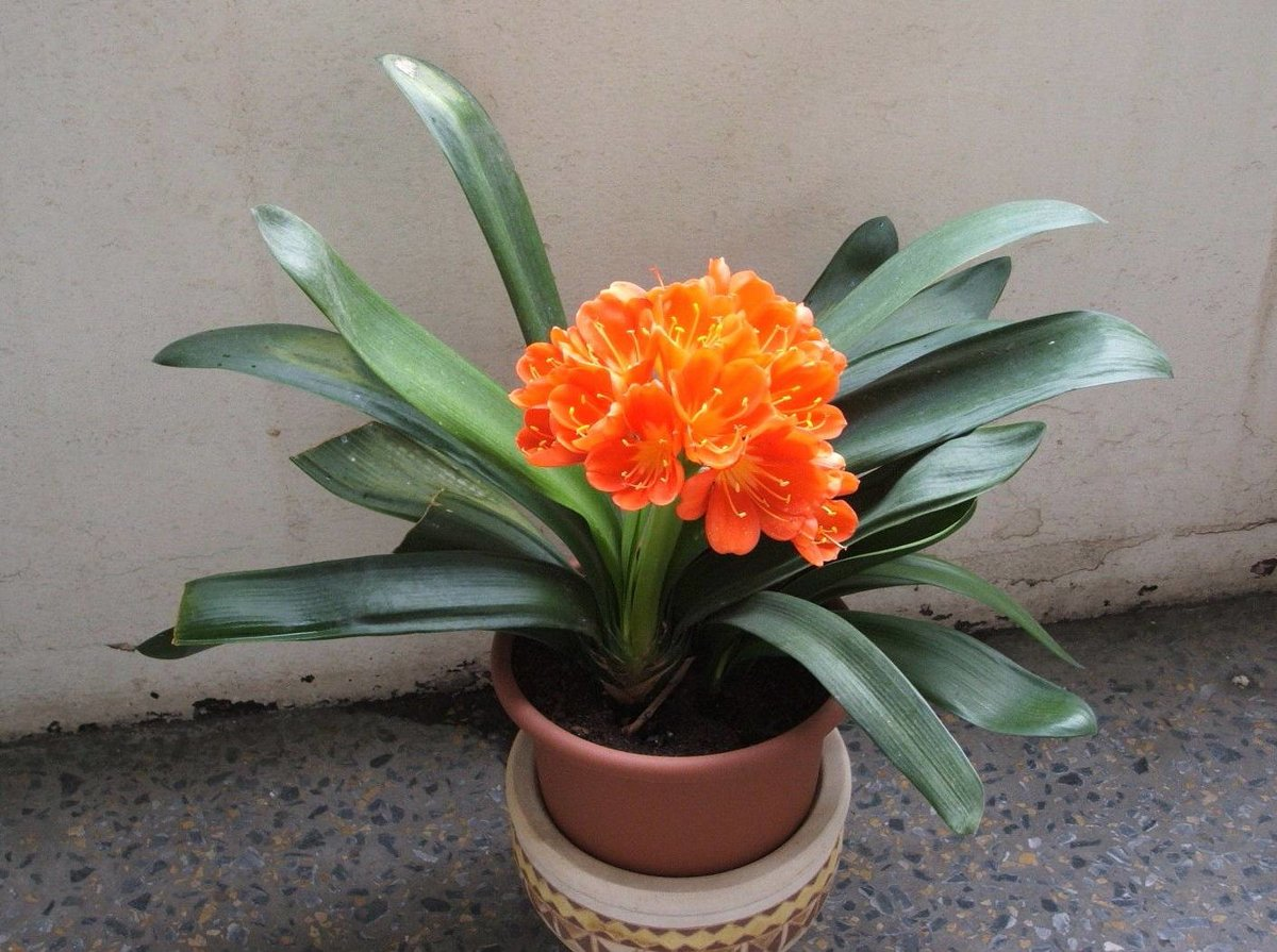 Цветок домашний оранжевого цвета фото названия