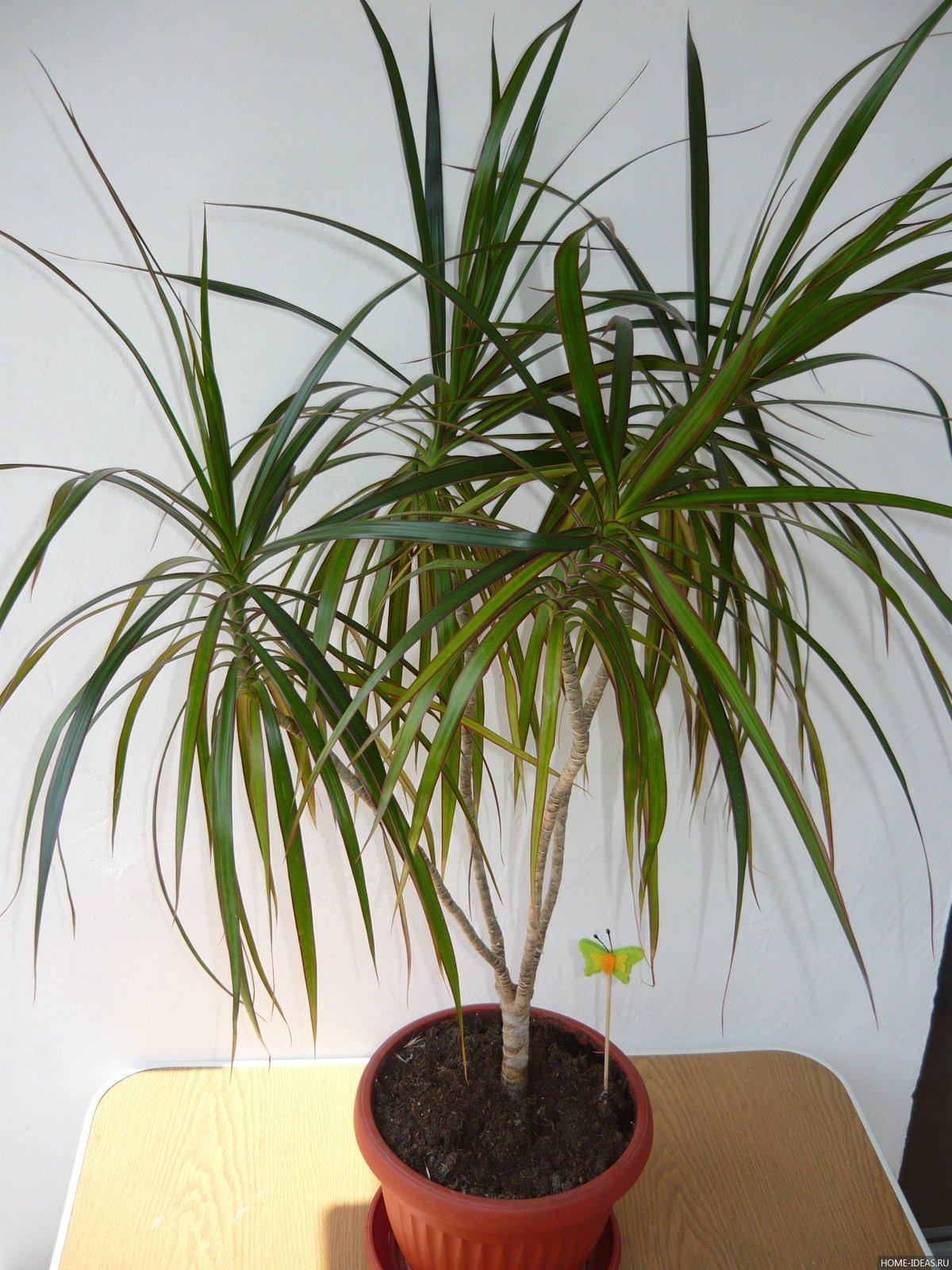 Домашние цветы в виде пальмы фото с названиями