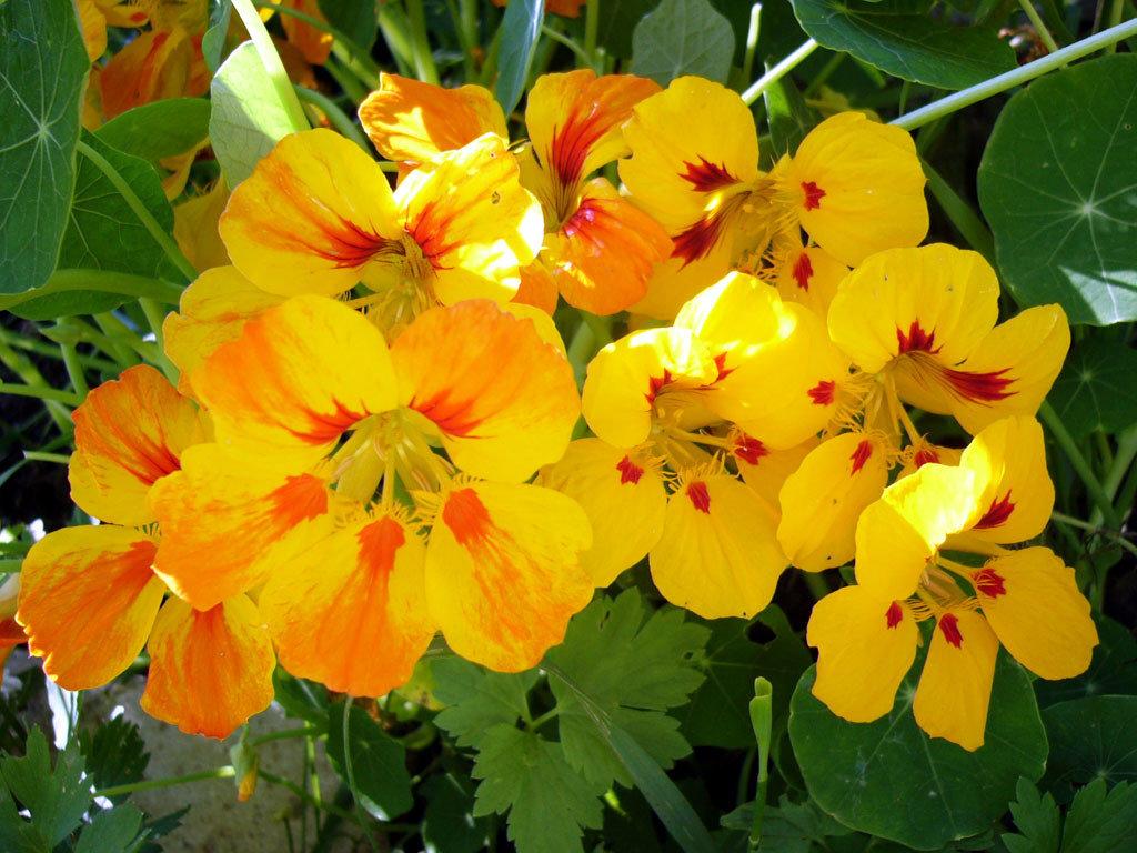 Настурция выращивание из семян в домашних 18