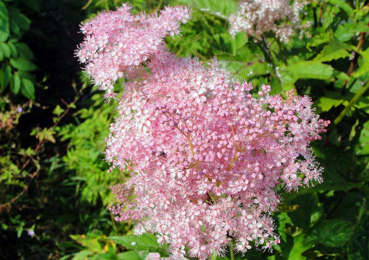 Лабазник вязолистный цветов