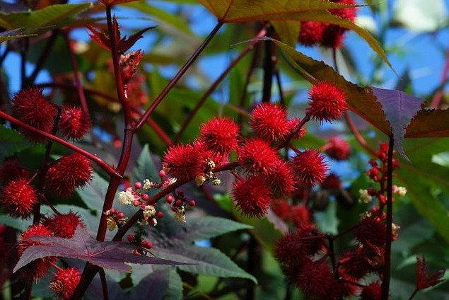 Цветы райское дерево