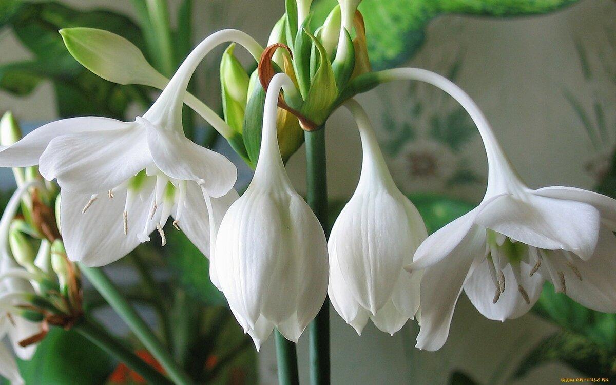 Фото цветка белой лилии с широкими листьями