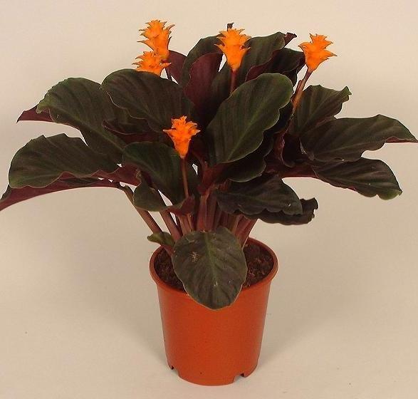 Домашние цветы уход в домашних условиях калатея 582