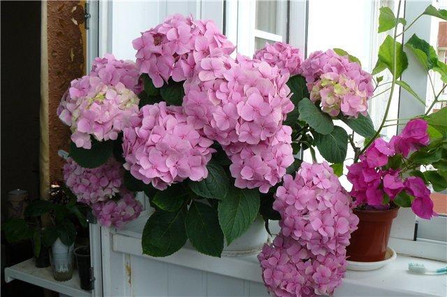 Цветы домашние гортензия