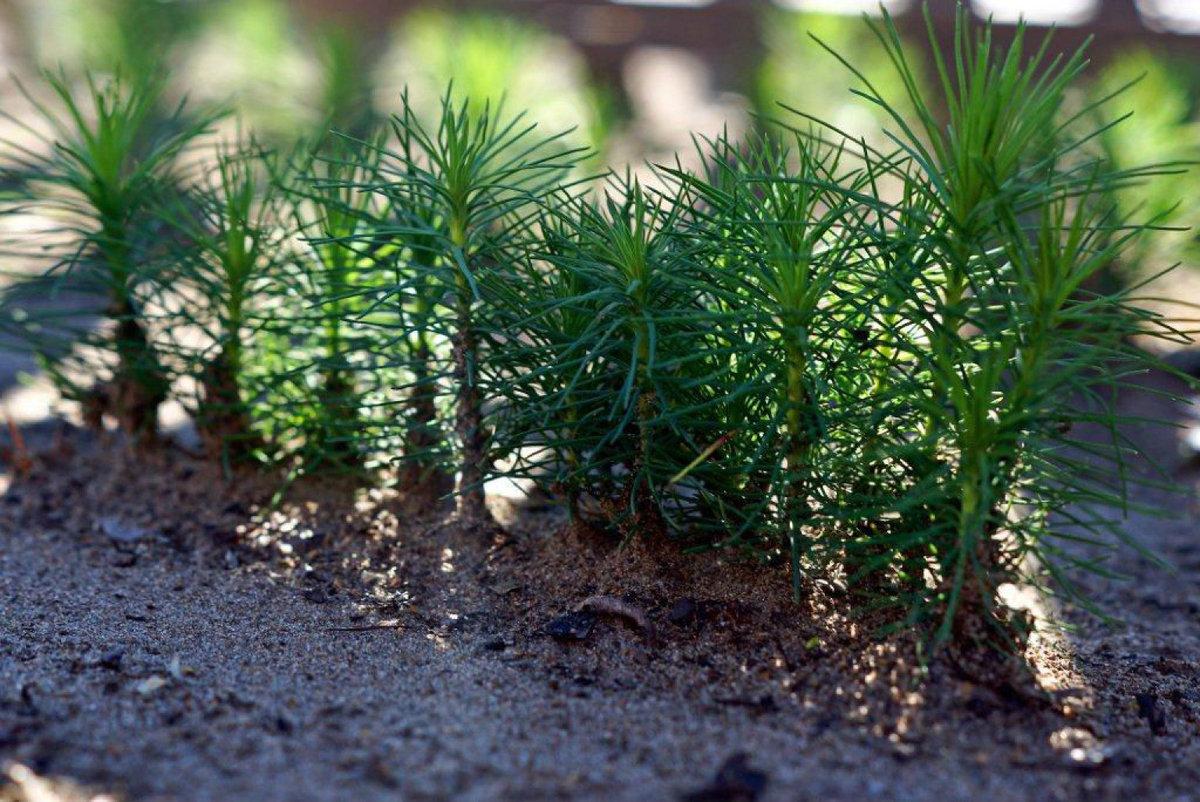 Технология выращивания деревьев 97