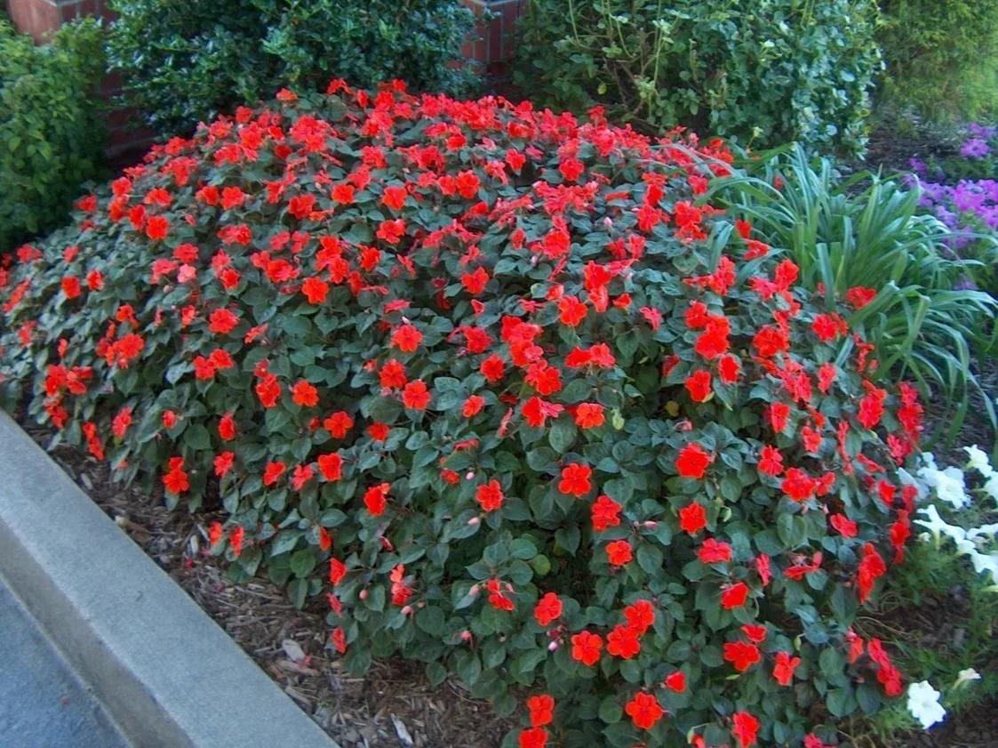 Цветы на даче бальзамин фото