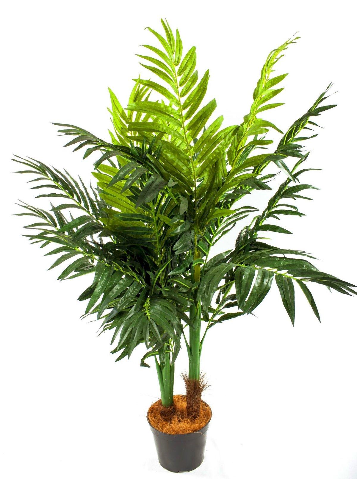 Комнатный цветок пальмы