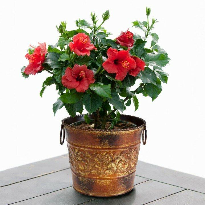 Китайская роза в горшке как ухаживать в домашних условиях