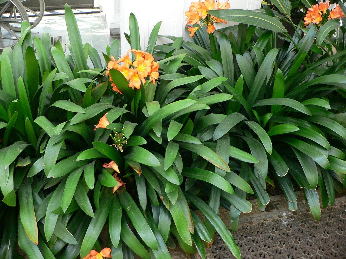 Комнатные растения и цветы луковичные фото и