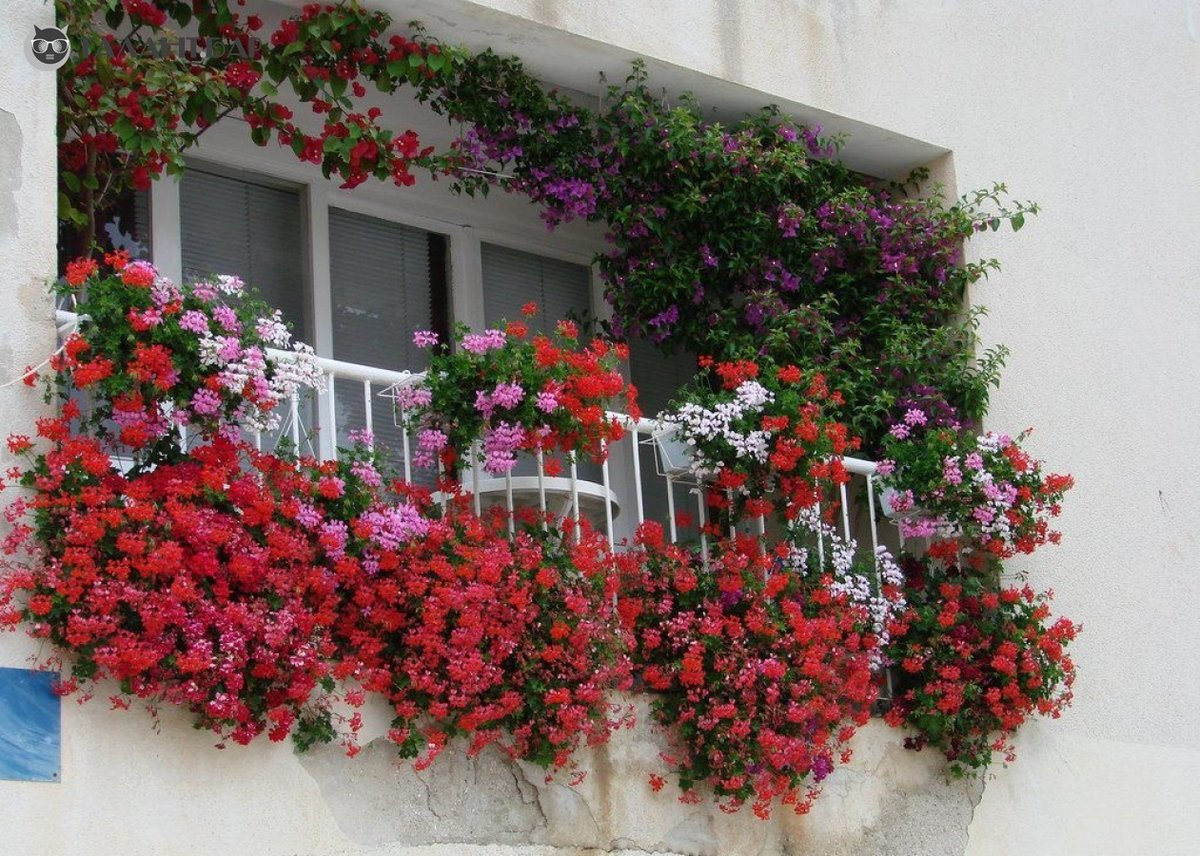 Фото цветы с ароматом на балкон