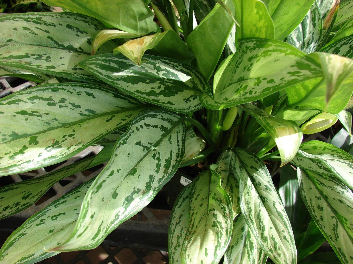 Влаголюбивые комнатные растения Декоративные растения - описания 29