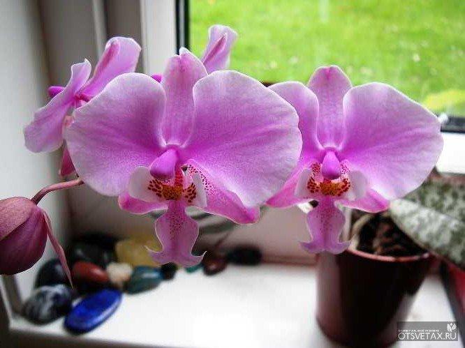 Домашние орхидеи фаленопсис уход в домашних условиях фото