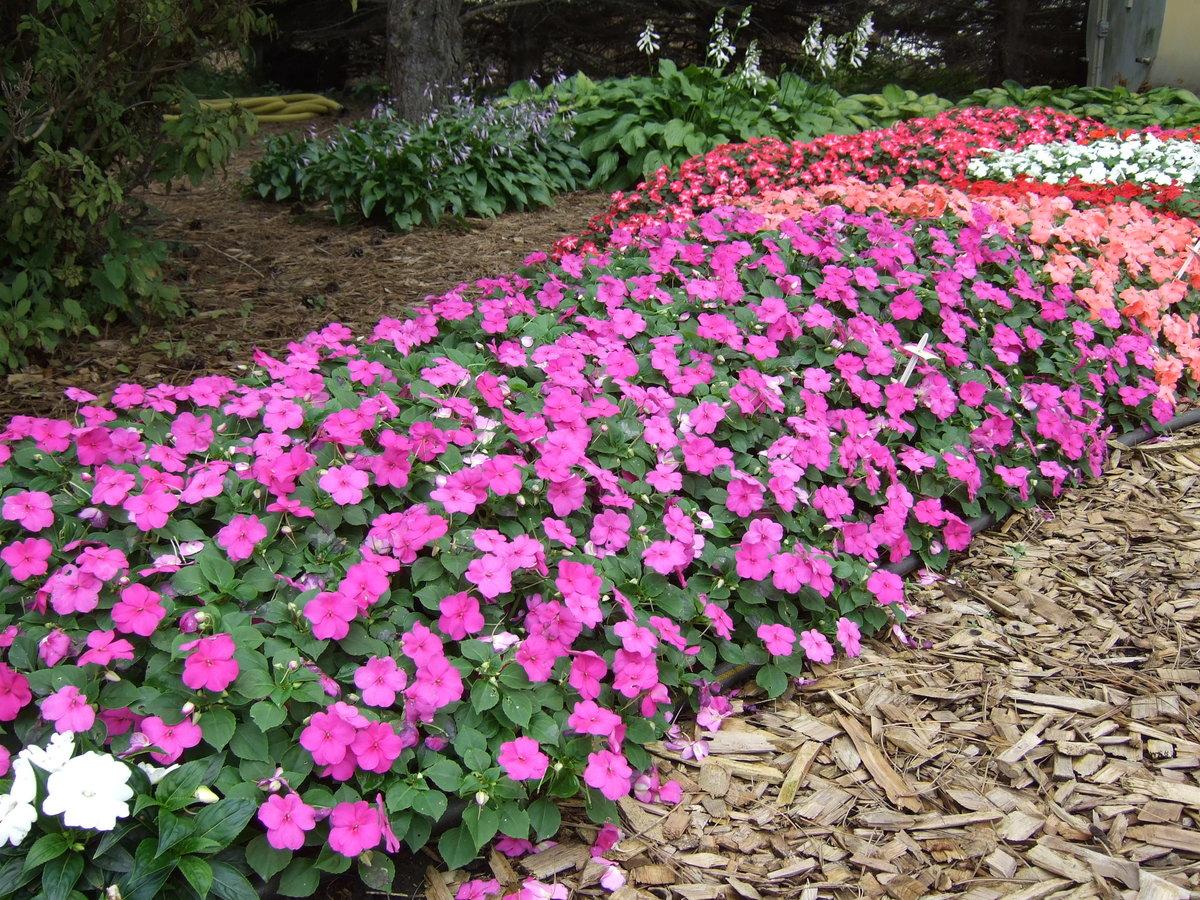 Каталог садовых цветов однолетников с