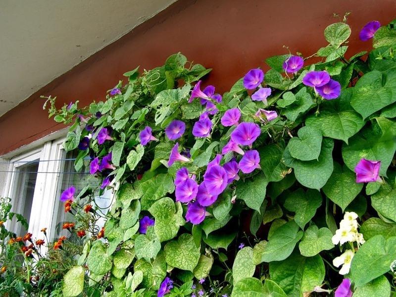 Какие цветы посадить на балконе: солнечная, северная сторона.