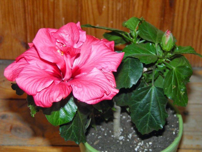 Чем подкармливать китайскую розу в домашних условиях
