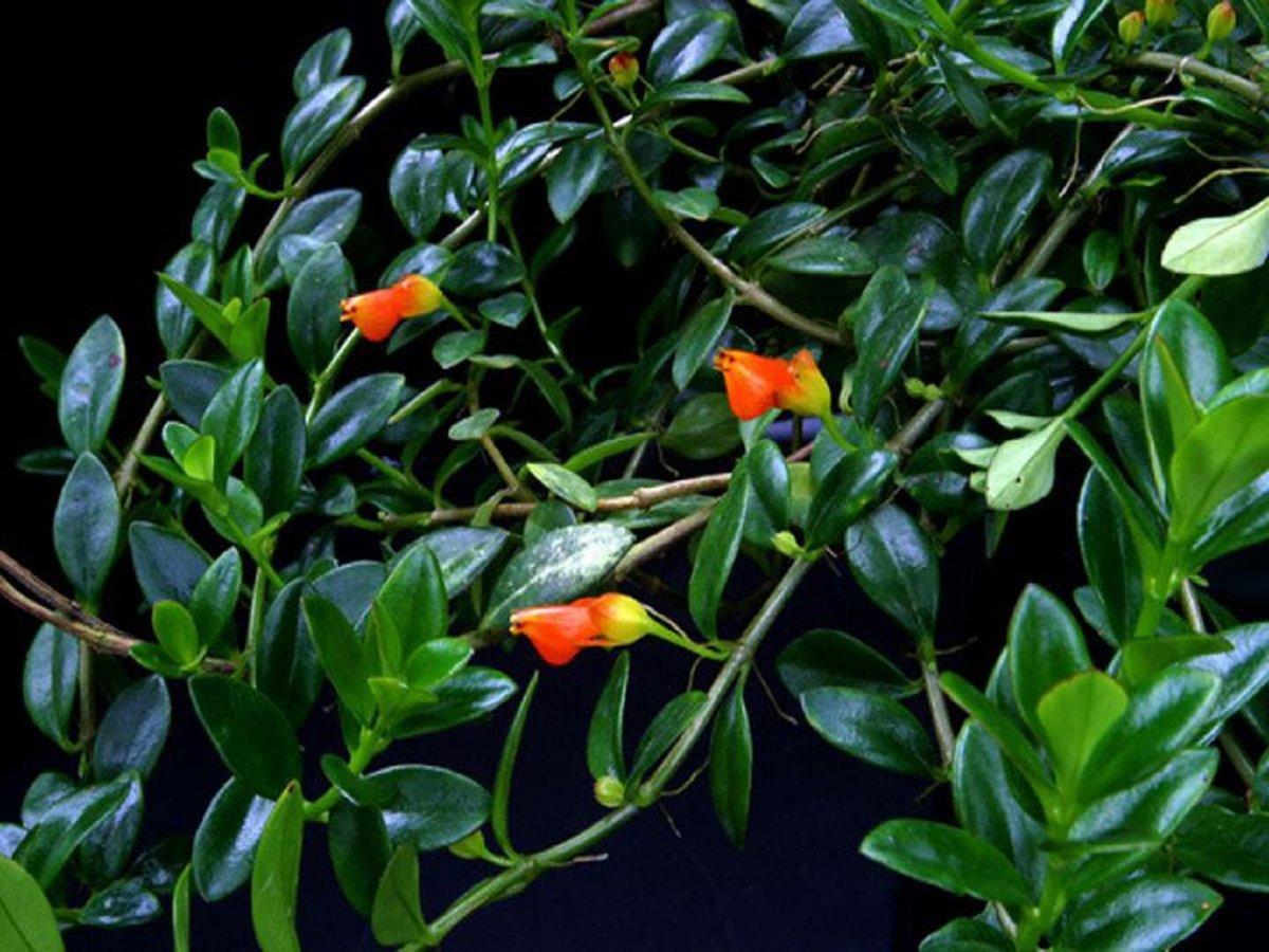 Комнатный цветок рыбки фото