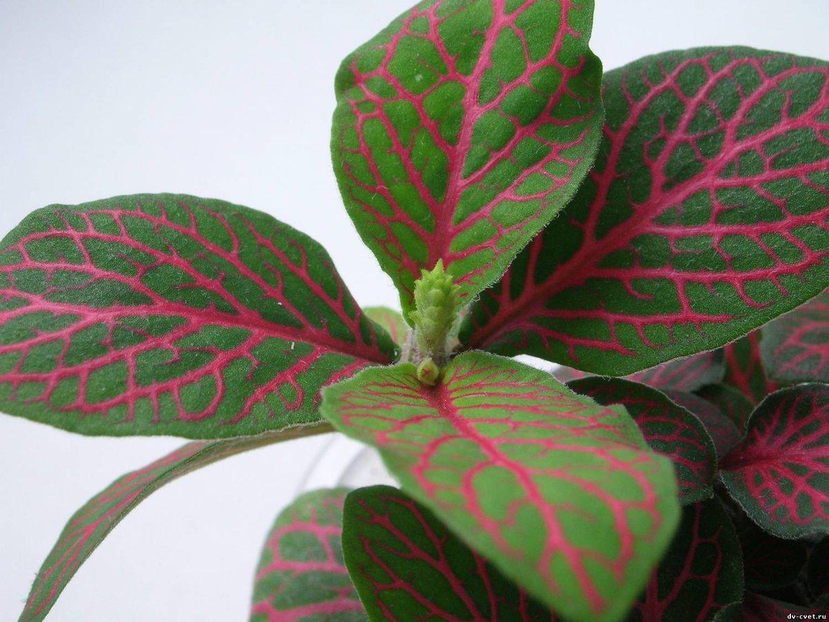 Комнатные цветы зеленые листья с белыми прожилками название и фото
