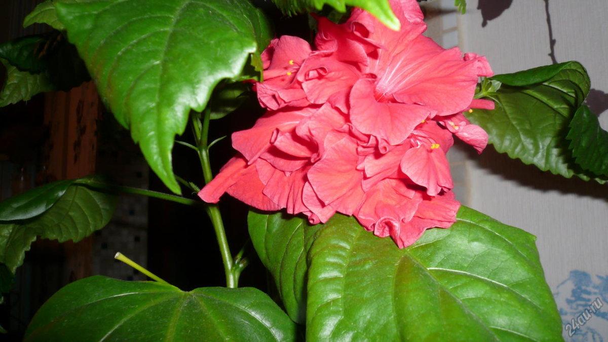Домашние цветы гибискус фото и названия уход в домашних условиях
