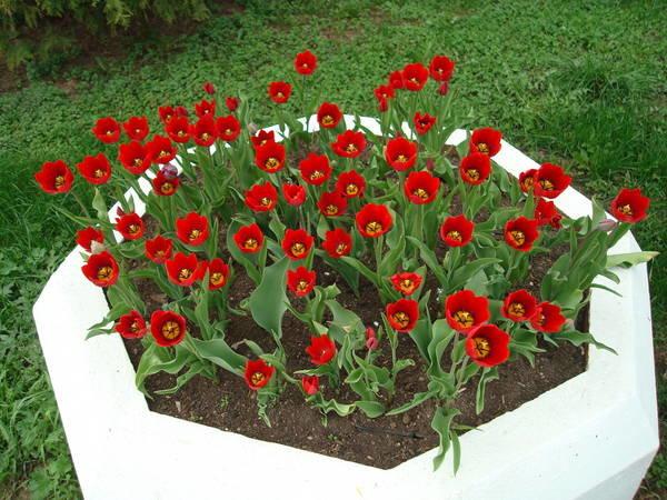 Клумбы своими руками из тюльпан