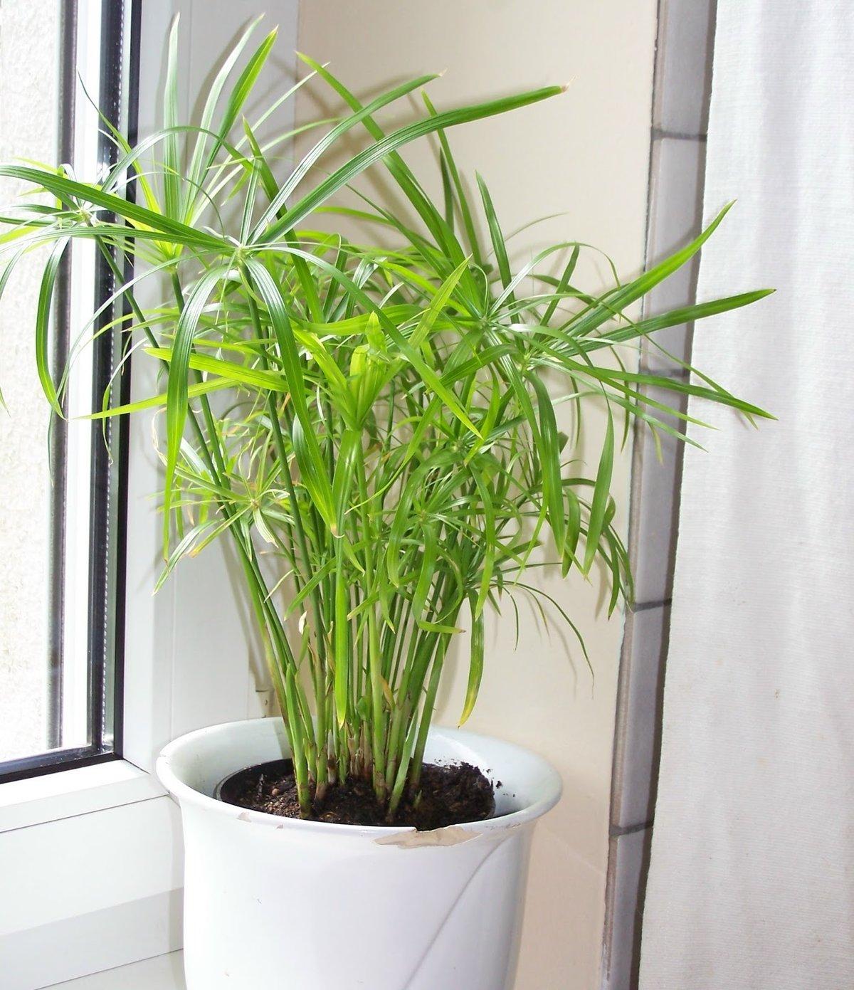 Циперус: 51 фото ухода и поддержания условий для растения 86