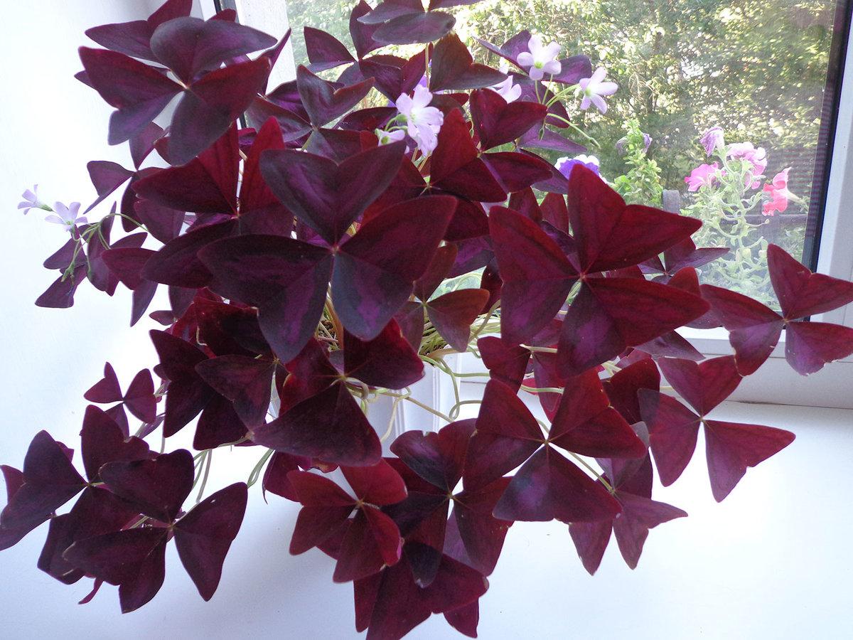 Цветок бабочка : уход, полив, фото, размножение и пересадка 76