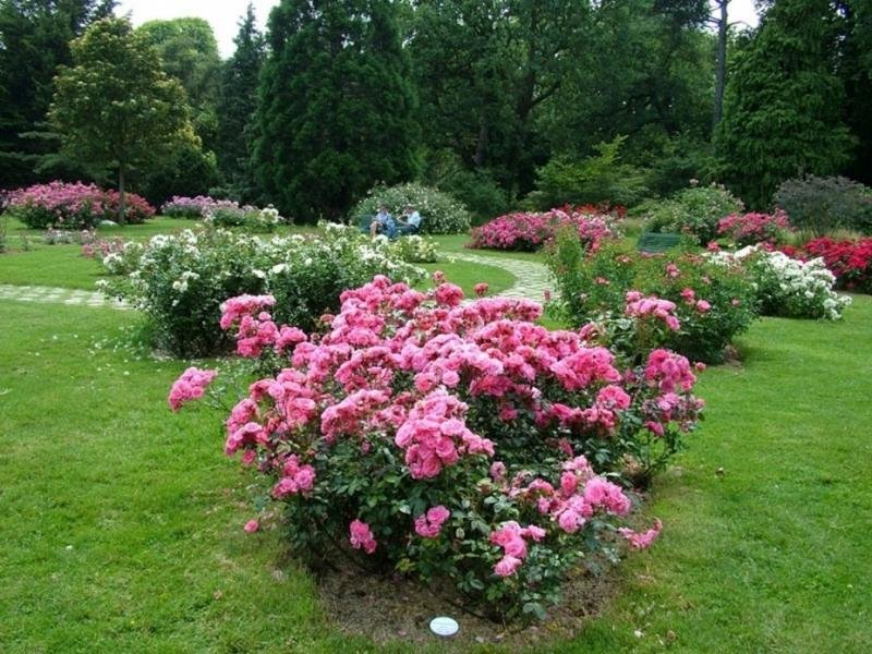 Розы флорибунда в ландшафтном дизайне