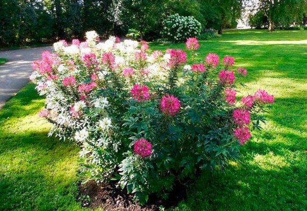 Клеома цветов рассада когда сажать