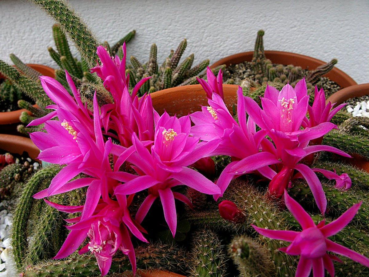 Цветы рода кактусовых фото