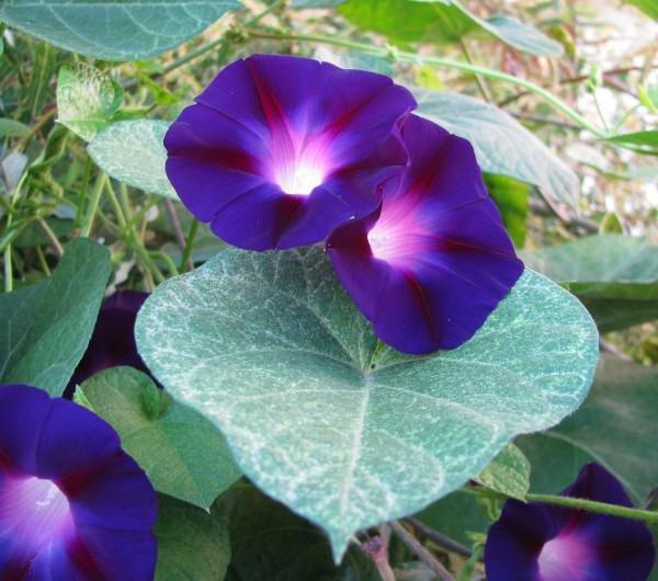 Ипомея пурпурная цветок
