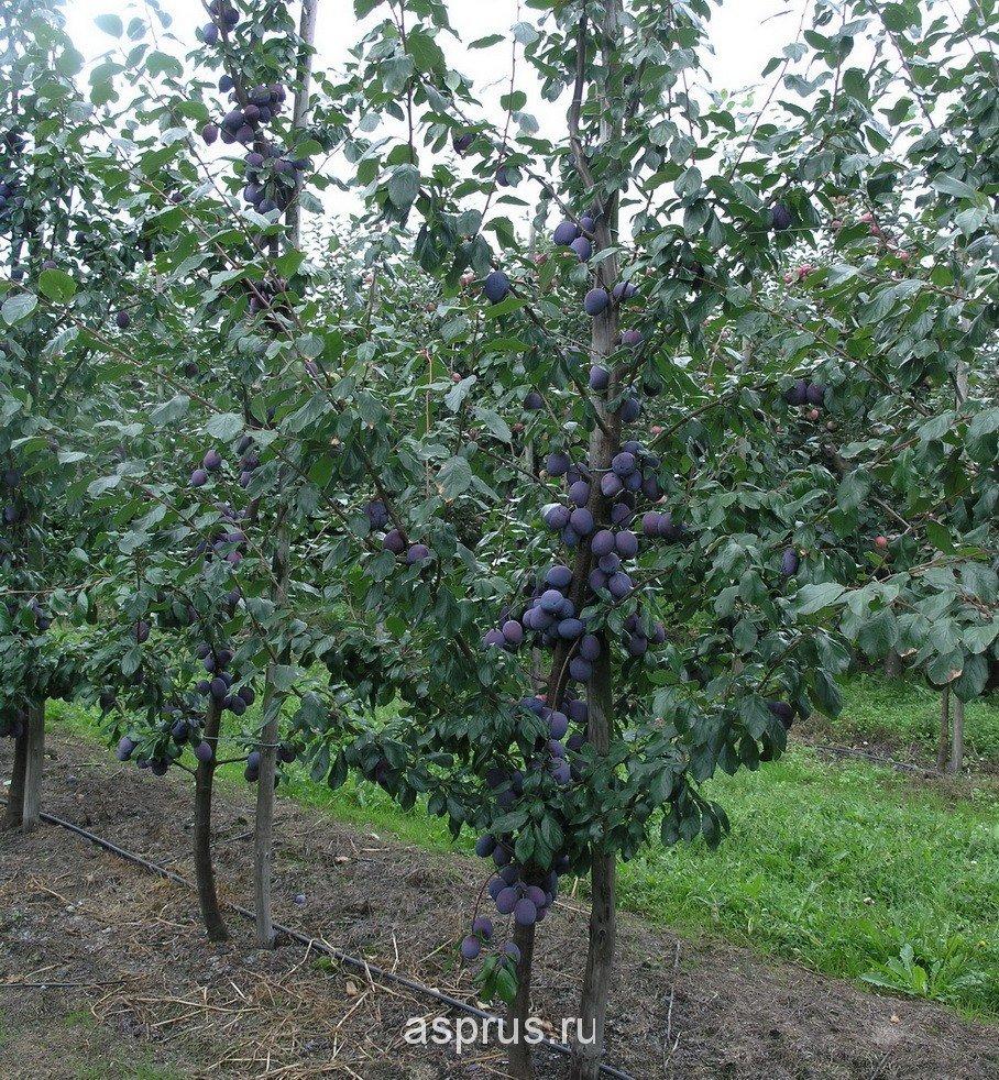 Перспективы интенсивной технологии выращивания слив, опыт