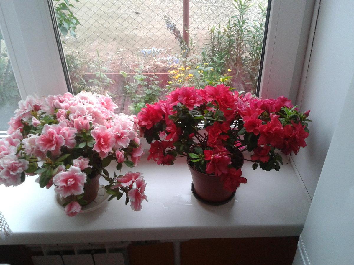 Цветы азалия как ухаживать за ними