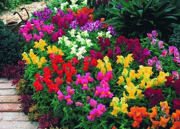 Выращивание однолетних и многолетних цветов 2846
