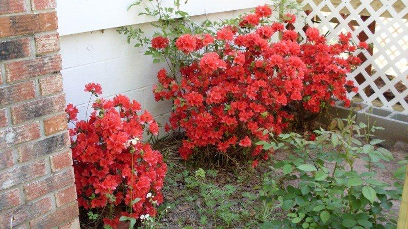 Азалия многолетняя садовая выращивание и уход фото 38