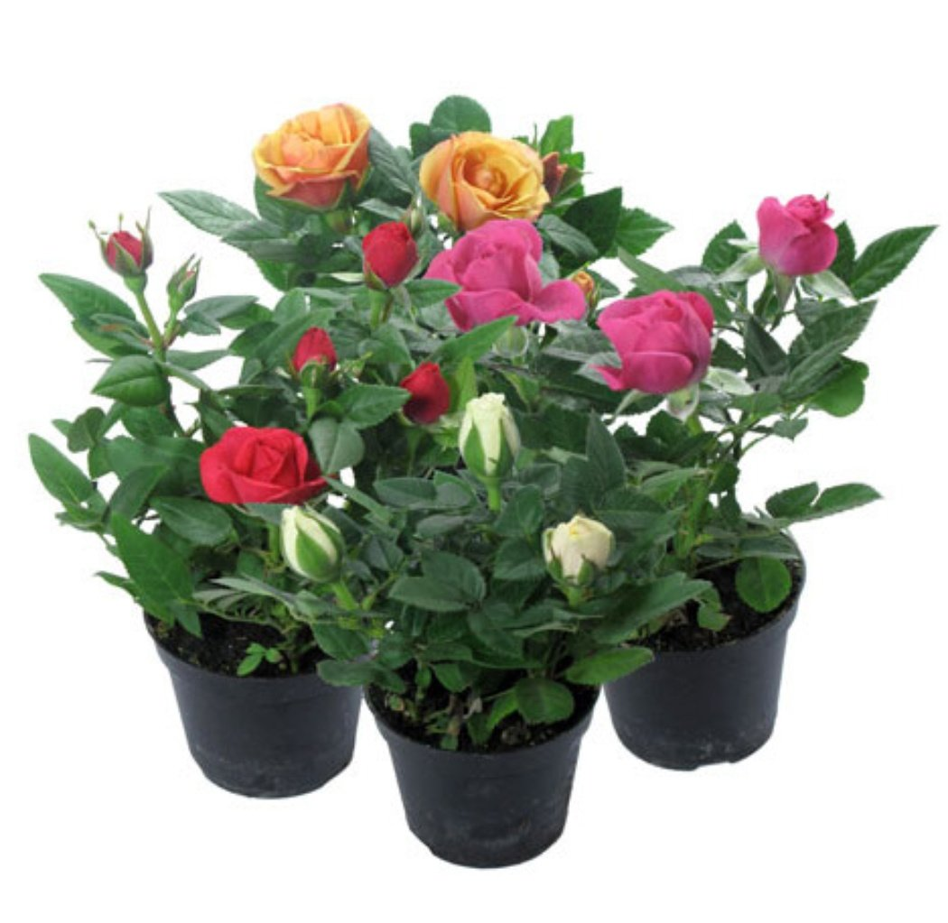 Комнатная роза кордана уход в домашних условиях фото