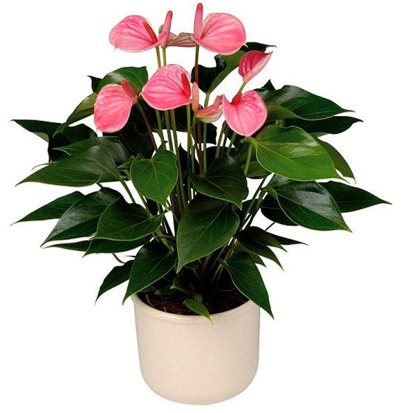 Цветок в горшке с красными цветами