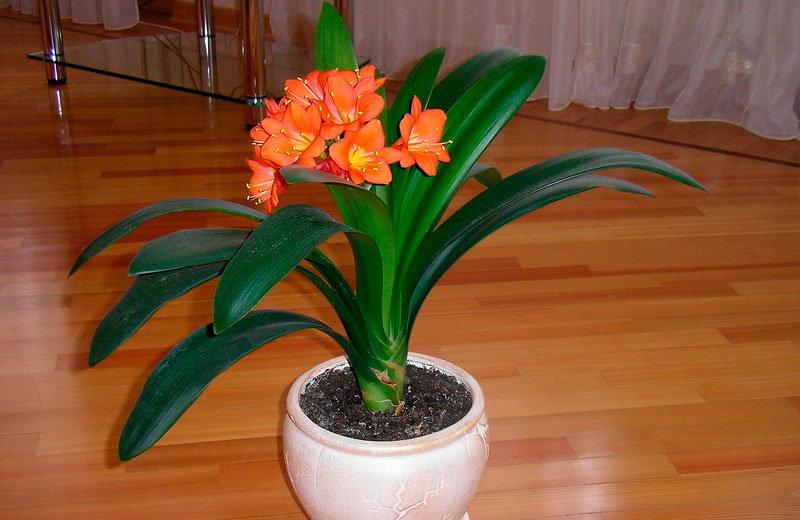 Кливия и уход и размножение в домашних условиях