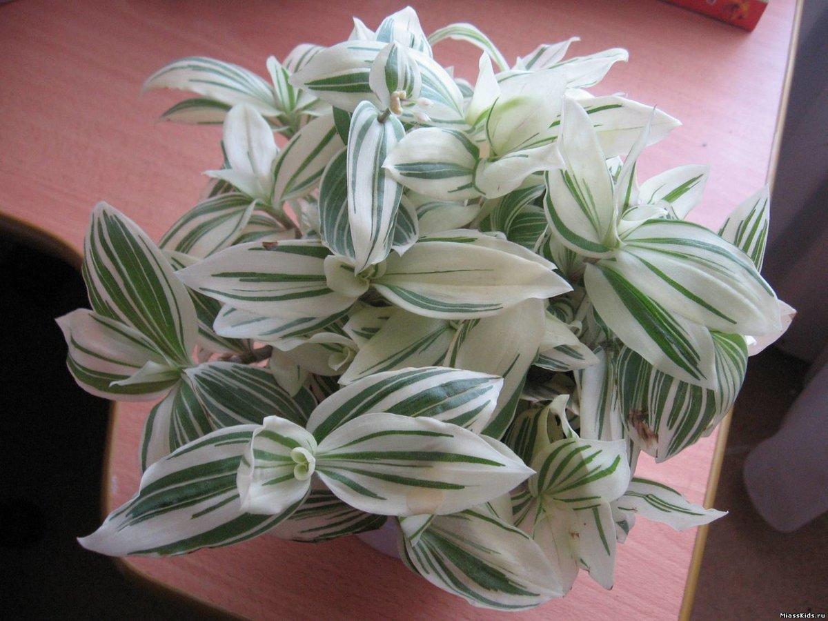 Комнатный цветок с голубыми цветами название фото