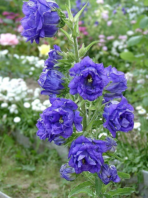 Фото многолетних цветов колокольчик