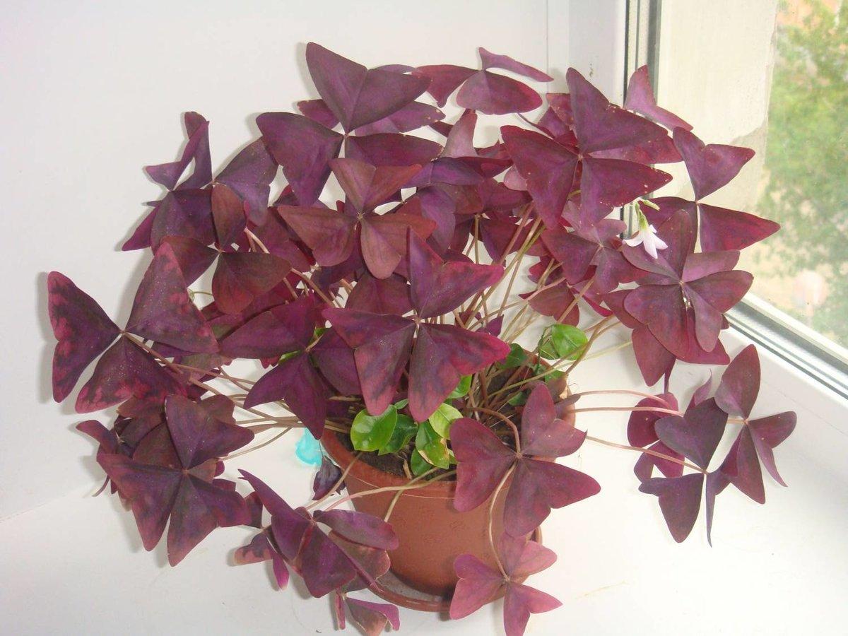 Цветок бабочка : уход, полив, фото, размножение и пересадка 59