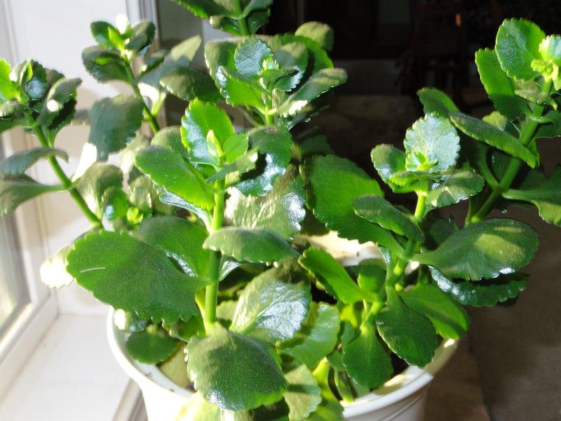 Как заставить каланхоэ цвести в домашних условиях