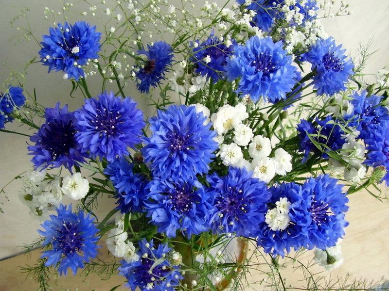 Открытки цветка василек