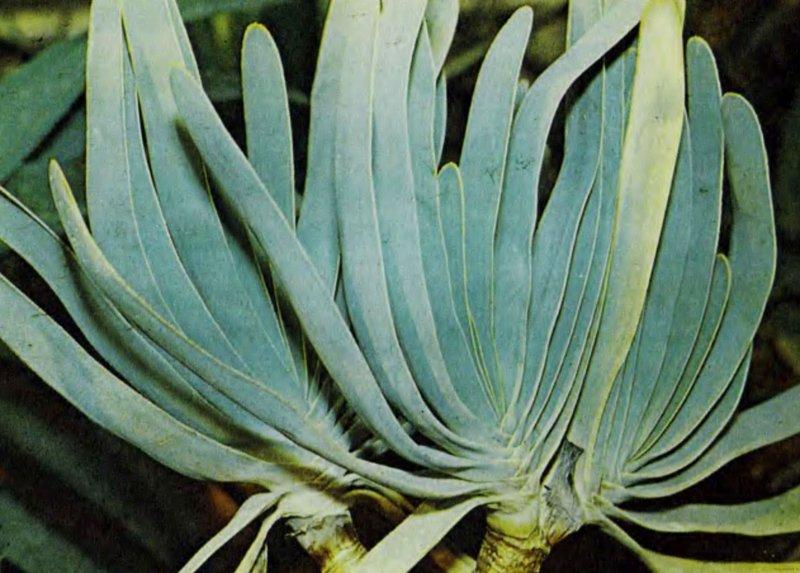 Самые красивые фото цветов - алоэ складчатое фото
