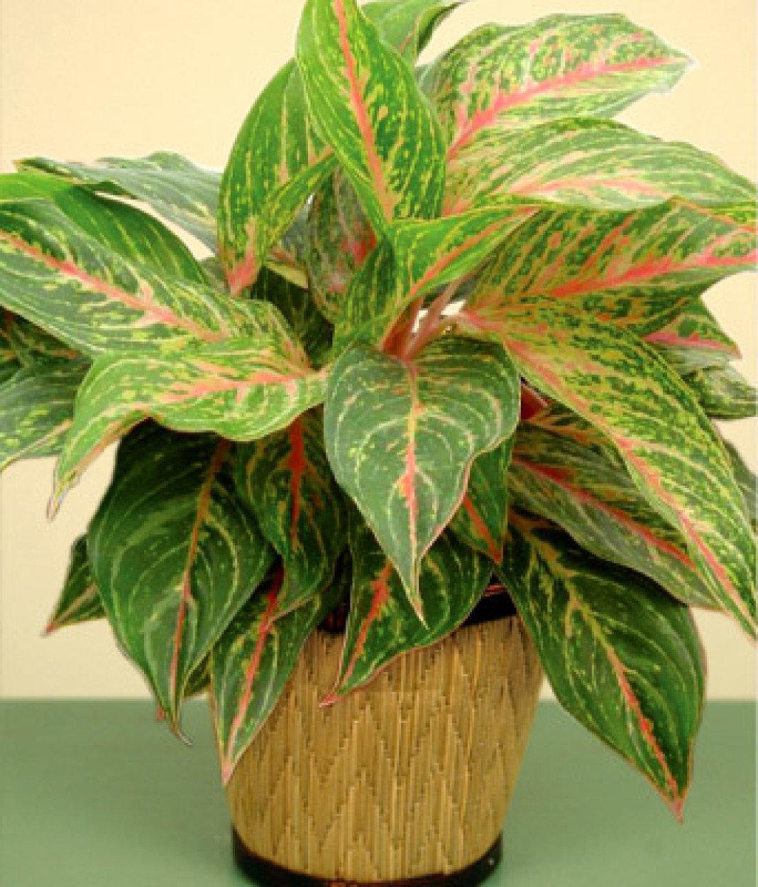 Комнатные цветы с зелено розовыми листьями фото и названия