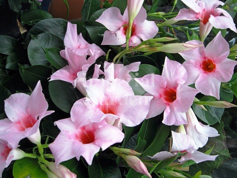 Дипландия цветок