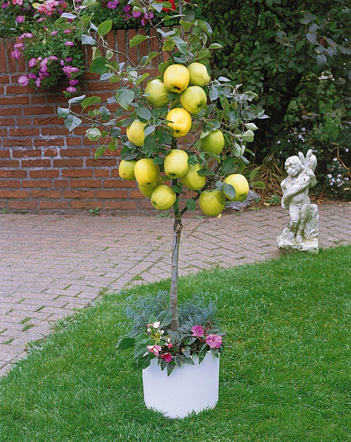 Выращивание низкорослых яблонь 85