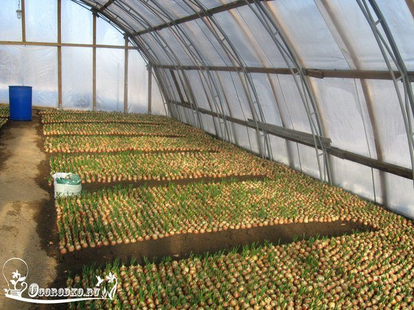 Выращивание морковки в теплице 27