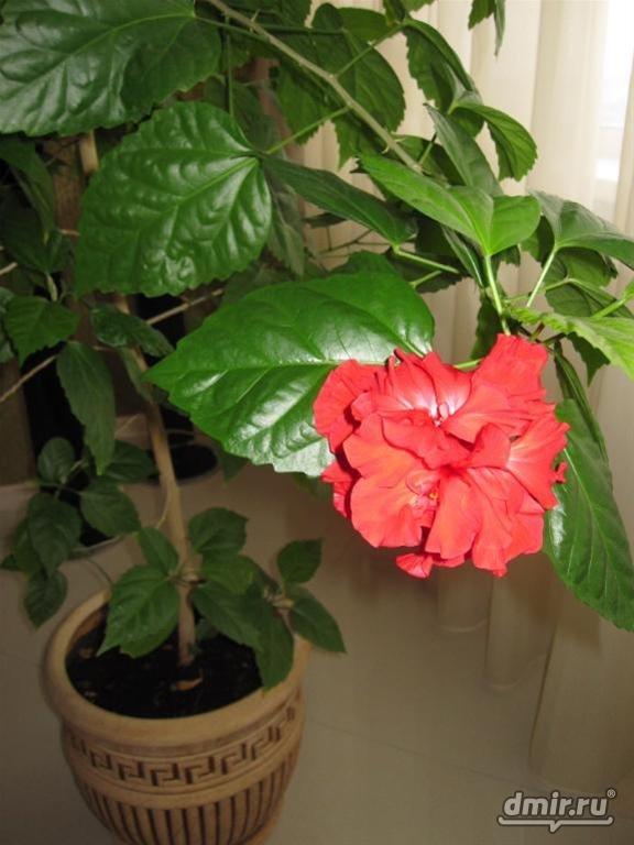 Комнатные цветы как роза