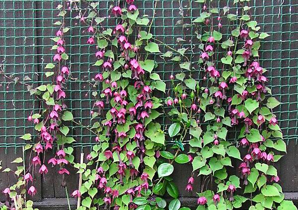 Вьющиеся однолетние цветы для сада