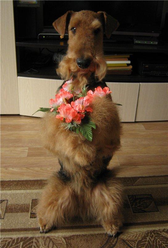 Фото эрдельтерьеров с цветами