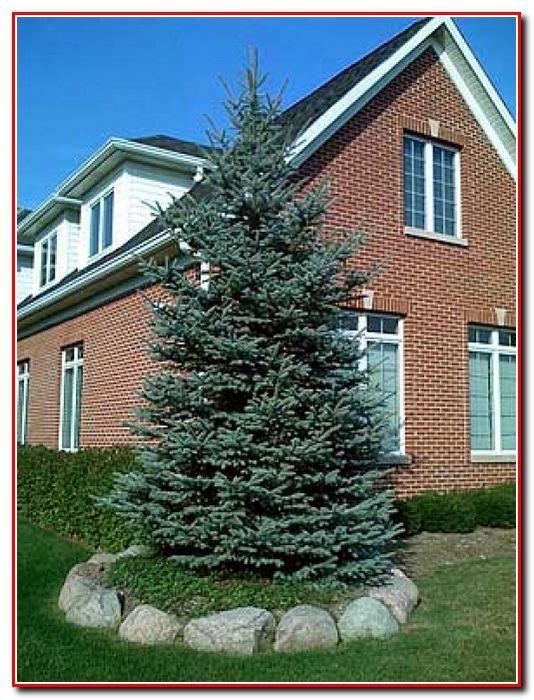 Почему нельзя сажать елку в доме 47